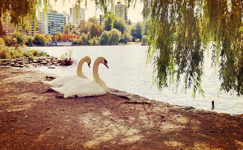 Two swans in a park next to water.